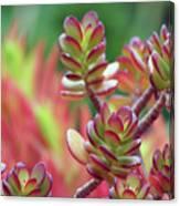 California Red Tip Crassula Ovata Jade Plant Canvas Print