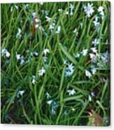 Iceblue Squill Canvas Print