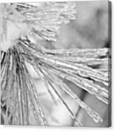 Iced Pine Needles Canvas Print