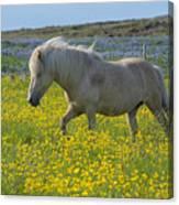 Icelandic Horse, Iceland Canvas Print
