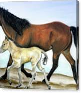 Icelandic Mare And Foal Canvas Print