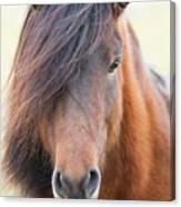 Iclelandic Horse Close Up Canvas Print