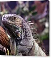 Iguana 338 Canvas Print