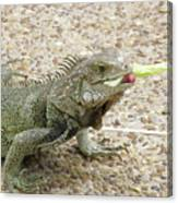 Iguana Eating Lettuce With His Tongue Sticking Out Canvas Print