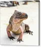 Iguana On The Beach Canvas Print