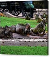 Iguana Trio Canvas Print