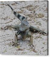Iguana With A Striped Tail On A Sand Beach Canvas Print