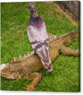 Iguana With Pigeon On Its Back Canvas Print