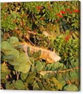 Iguanas Canvas Print