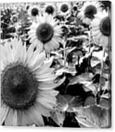 Illinois Sunflowers Canvas Print