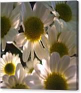 Illuminated Daisies Photograph Canvas Print