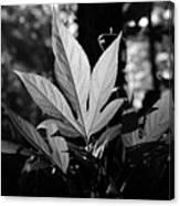 Illuminated Leaf, Black And White Canvas Print