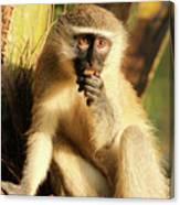 Illuminated Vervet Monkey  Canvas Print