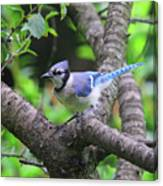 I'm Looking - Blue Jay Canvas Print