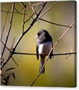 Img_0001 - Dark-eyed Junco - Snowbird Canvas Print