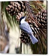 Img_0215-022 - Carolina Chickadee Canvas Print