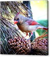Img_0311 - Northern Cardinal Canvas Print