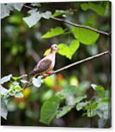 Img_0534-001 - Mourning Dove Canvas Print