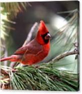 Img_0565-004 - Northern Cardinal Canvas Print