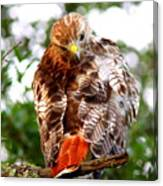 Img_1050-002 - Red-tailed Hawk Canvas Print