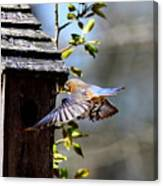 Img_1753-001 - Eastern Bluebird Canvas Print