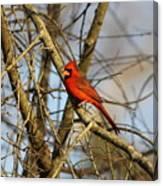 Img_2757-001 - Northern Cardinal Canvas Print