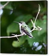 Img_3309 - Ruby-throated Hummingbird Canvas Print