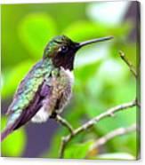 Img_3524-002 - Ruby-throated Hummingbird Canvas Print