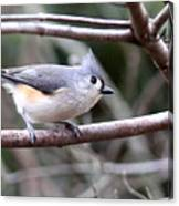 Img_4672 - Tufted Titmouse Canvas Print