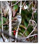 Img_6624-002 - White-throated Sparrow Canvas Print