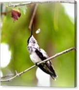 Img_7436-020 - Ruby-throated Hummingbird Canvas Print