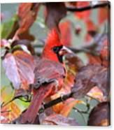 Img_ 8621 - Northern Cardinal Canvas Print