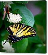 Img_8712-001 - Swallowtail Butterfly Canvas Print