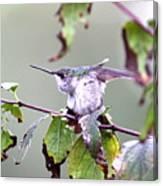 Img_9114-003 - Ruby-throated Hummingbird Canvas Print