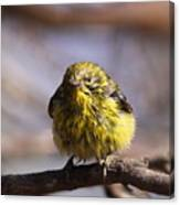 Img_9853 - Pine Warbler -  Very Wet Canvas Print