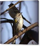 Img_9896 - Yellow-rumped Warbler Canvas Print