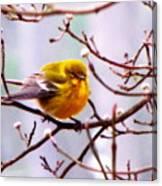 Img_9900 - Pine Warbler Canvas Print
