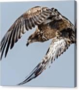 Immature Bald Eagle Leaving A Perch Canvas Print