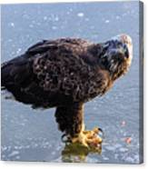 Immature Eagle Having Lunch Canvas Print