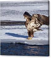 Immature Eagle On Ice Canvas Print
