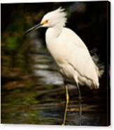 Immature Snowy Egret Canvas Print