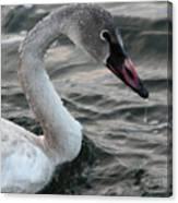 Immature Swan Canvas Print