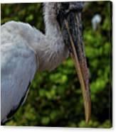 Immature Wood Stork Canvas Print