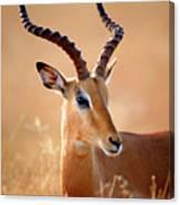 Impala Male Portrait Canvas Print