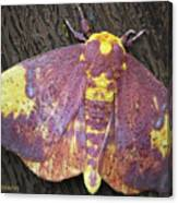 Imperial Moth Canvas Print