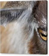 In A Goat's Eye Canvas Print