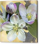 In Apple Blossom Time Canvas Print