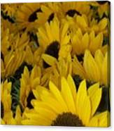 In Full Bloom - Sunflowers Canvas Print
