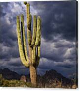 In Search Of That Perfect Saguaro  Canvas Print