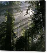 In The California Redwood Forest Canvas Print